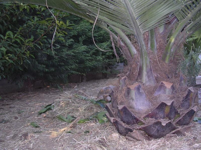 Mes palmiers Dscn7247