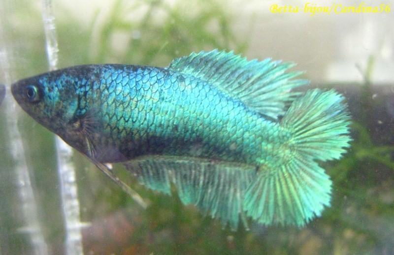 F4 lignée SM (turquoise, copper, papillon) voiles longs QDXQD F3_lig12