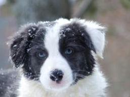 BLANC - BC noir et blanc aux yeux bleus Captur13