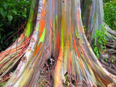 Ginkgo Biloba, Eucalyptus Deglupta, Passiflora Alata ...  Eucaly10