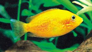 Quiz expert - pour les accros des poissons eau douce-saumâtre (600 points) - Page 5 Atropu10
