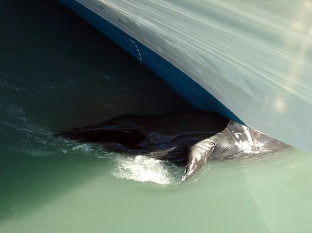 Une baleine attaque un voilier ! 610x30