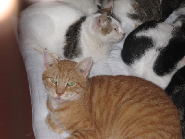 Phantom - tigré roux - né en juillet 2003 *** Img_3655