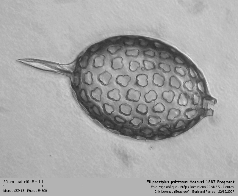 Ellipsostylus psittacus Haeckel, 1887 - Radiolaire fossile Ellips11