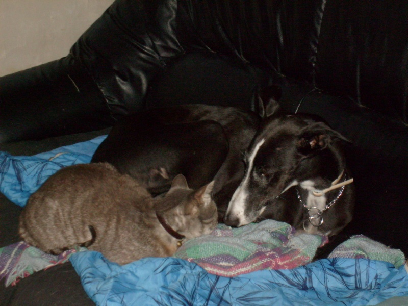 les galgos et les chats - galgos and cats 11070810