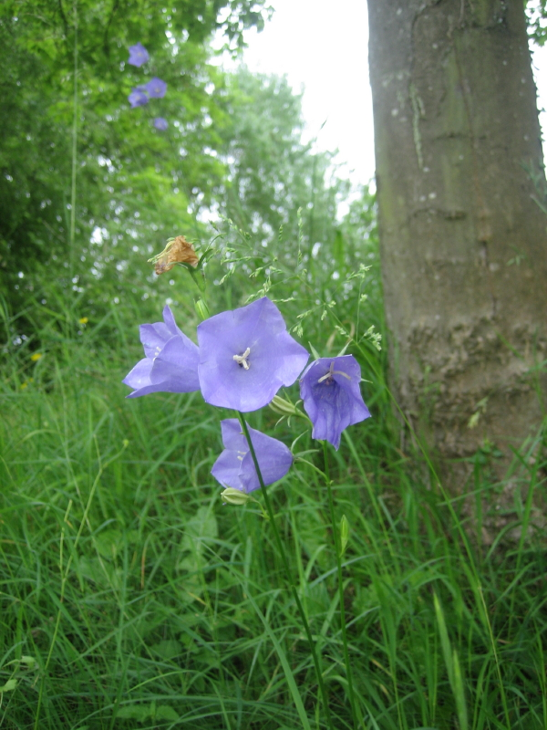 Fleurs au Kaiserstuhl Img_7110