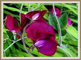 Fleurs du moment - Page 2 Pois_d10