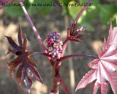 Ricinus communis - ricin commun Bis10