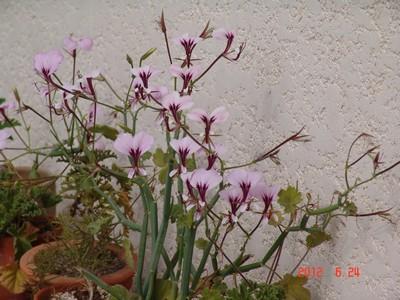 Pelargonium tetragonum Dsc00611