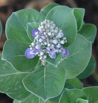 Vitex trifolia subsp. litoralis (= Vitex rotundifolia) Dsc00812