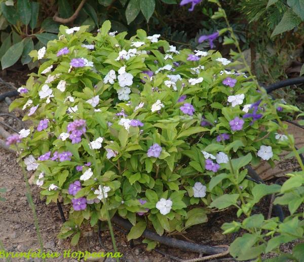 Brunfelsia pauciflora Dsc00820