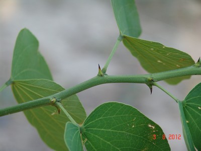 Bauhinia grandiflora Dsc00910