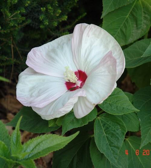 Hibiscus moscheutos - Page 2 Dsc00912