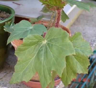 Begonia sp. [devinette] Dsc01018
