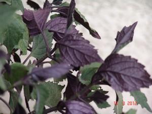 Plectranthus 'Mona Lavander' Dsc01022