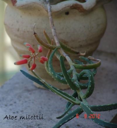 Aloe milottii Dsc01122