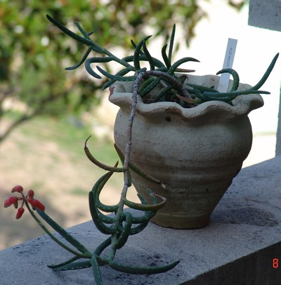 Aloe milottii Dsc01213