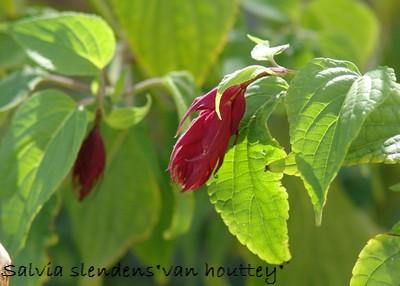 Salvia - les floraisons du moment Dsc01233