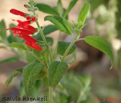 Salvia - les floraisons du moment Dsc01235
