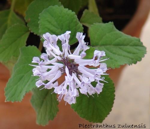 Plectranthus zuluensis Dsc01312