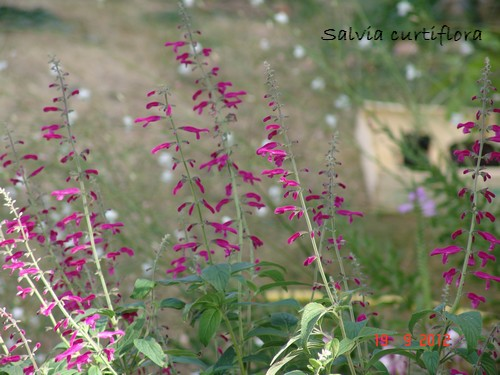 Salvia curviflora Dsc01316