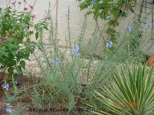 Salvia azurea grandiflora Dsc01317
