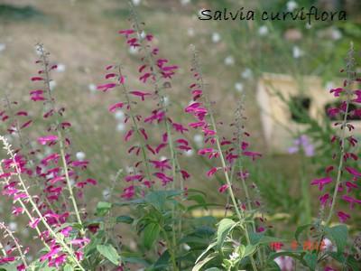 Salvia curviflora Dsc01324