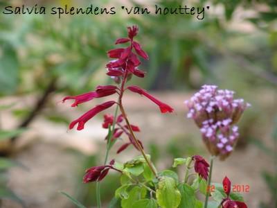 Salvia - les floraisons du moment Dsc01326