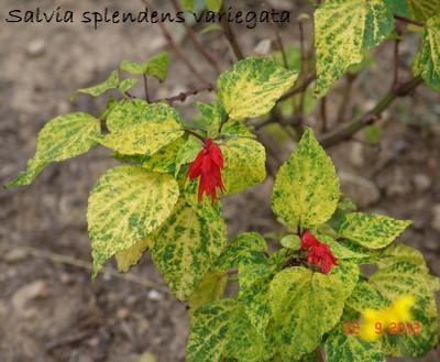 Salvia - les floraisons du moment Dsc01327