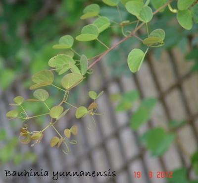 Bauhinia yunnanensis Dsc01332