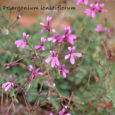 Pelargonium ionidiflorum Dsc01418