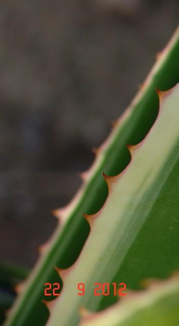 Furcraea selloa 'Marginata'  Dsc01424