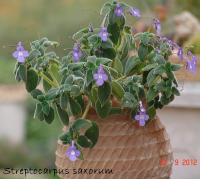 Streptocarpus - le genre Dsc01426