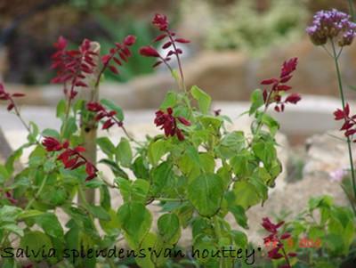 Salvia - les floraisons du moment Dsc01427