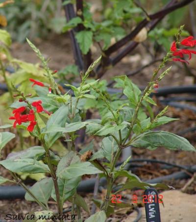 Salvia - les floraisons du moment Dsc01428