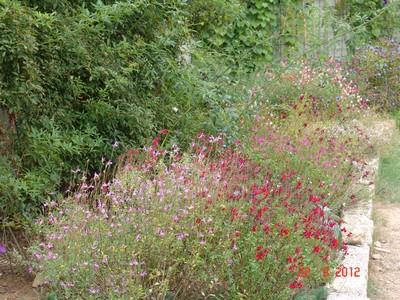 Salvia - les floraisons du moment Dsc01429