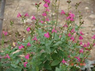 Salvia - variations dans les semis spontanés Dsc01430