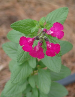 Salvia - variations dans les semis spontanés Dsc01431