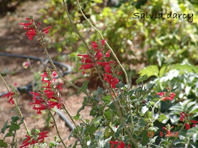 Salvia - les floraisons du moment Dsc01436