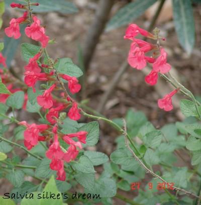 Salvia - les floraisons du moment Dsc01438