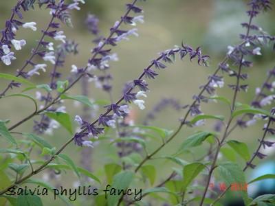 Salvia - les floraisons du moment Dsc01610