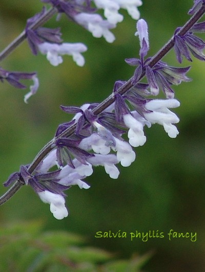 Salvia 'Phyllis Fancy' Dsc01611