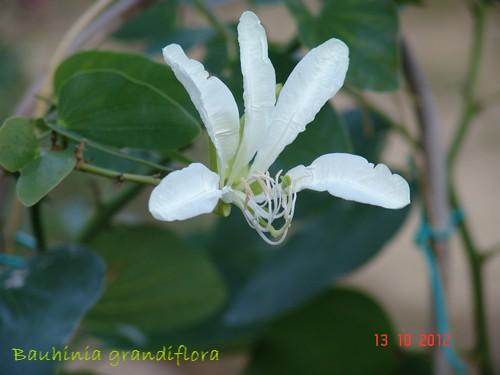 Bauhinia grandiflora Dsc01714