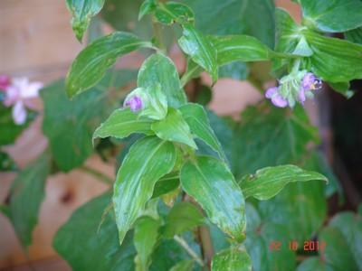 Tinantia erecta - tinantie dressée Dsc01719