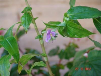 Tinantia erecta - tinantie dressée Dsc01720
