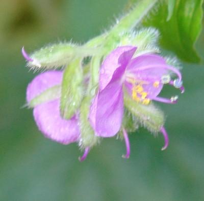 Tinantia erecta - tinantie dressée Dsc01721