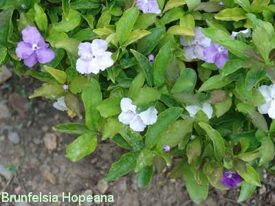 Brunfelsia pauciflora Dsc02410