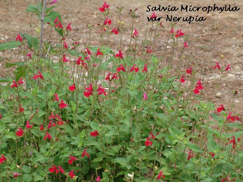 Salvia - variations dans les semis spontanés Dsc03010