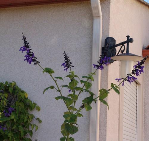 Salvia guaranitica Dsc03211