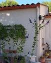 Salvia guaranitica Dsc03210
